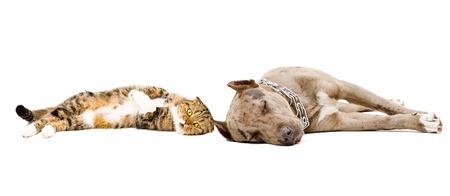 Dog breed pit bull and Scottish Fold cat sleeping lying together photo