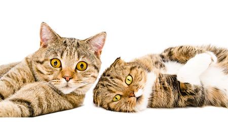 gato jugando: Retrato de dos gatos recta escocés y Scottish Fold yacía junto aislado en el fondo blanco