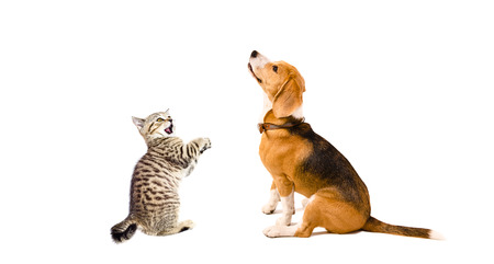 scottish straight: Curious Beagle dog and playful kitten Scottish Straight together isolated on white background