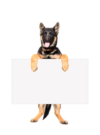 Puppy German Shepherd standing on hind legs holding a banner isolated on white background
