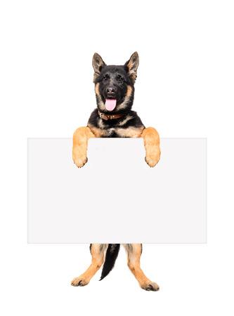 Perrito del pastor alemán de pie sobre las patas traseras, con un cartel aislado sobre fondo blanco Foto de archivo - 40063947