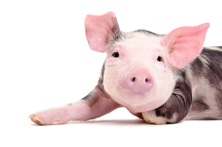Portrait of the charming little pig closeup isolated on white background