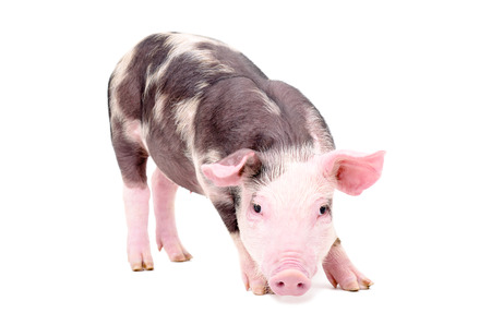 Little cute pig standing isolated on white background Stock fotó