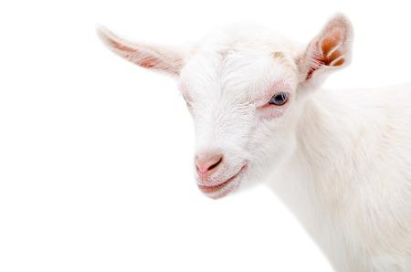 Portrait of a white little goat isolated on white background Standard-Bild