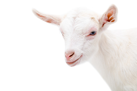 baby goat: Portrait of a white little goat isolated on white background Stock Photo