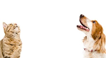 looking at view: Ritratto di un gatto e di cane dritto russo Spaniel scozzese guardando isolato su sfondo bianco