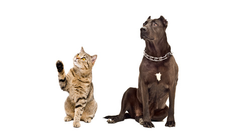 Dog breed Staffordshire Terrier and playful cat Scottish Straight together isolated on white background