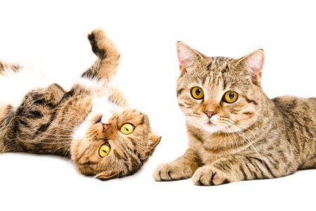 Portrait of cats Scottish Fold and Scottish Straight closeup isolated on white background Stock Photo
