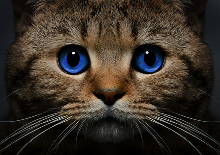 brown pussy: Portrait of a cat Scottish Straight with blue eyes closeup Stock Photo