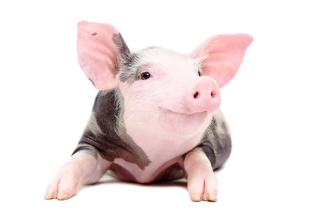 pig farm: Portrait of the funny little pig isolated on white background Stock Photo