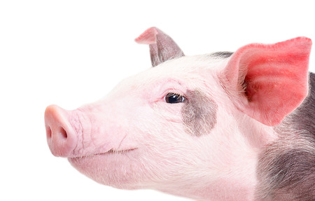 Portrait of a pig in a profile closeup isolated on a white background photo