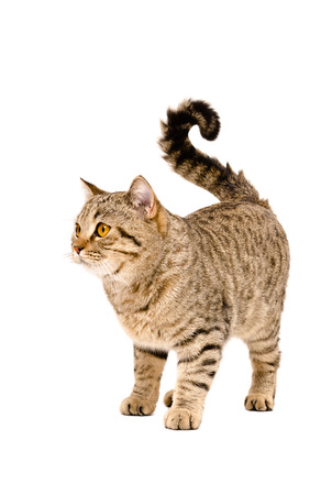 Adorable cat Scottish Straight standing isolated on white background