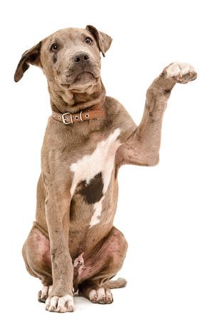 toro: Cachorro de pit bull de estar con una pata levantada aislado en fondo blanco