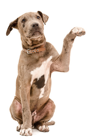 Pit bull puppy sitting with a raised paw isolated on white background