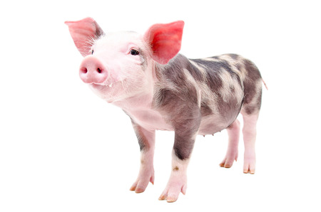 young pig: Funny little pig standing in full length isolated on white background