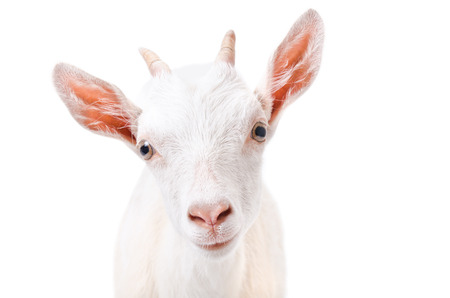 Portrait of a curious young goat isolated on white background