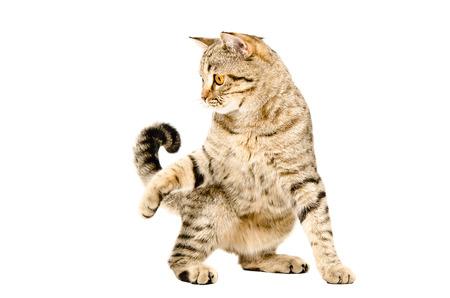 gato jugando: Divertido gato juguetón escocés recta aislado en fondo blanco Foto de archivo