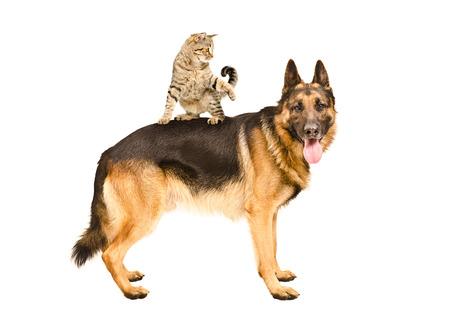 Playful cat Scottish Straight, der auf deutschen Schäferhund auf einem weißen Hintergrund