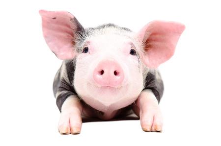 Portrait des entzückenden kleinen Schwein auf weißem Hintergrund