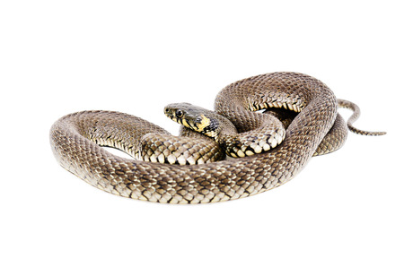 serpent: Snake isolated on white background