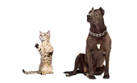 black and white pit bull: Staffordshire Terrier and frisky kitten Scottish Straight together isolated on white background