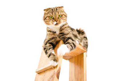 Portrait of a playful cat Scottish Fold sitting on a scratching post isolated on white background
