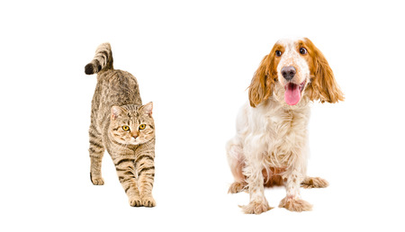 Funny dog breed Russian spaniel looking like a cat Scottish Straight stretches isolated on white background