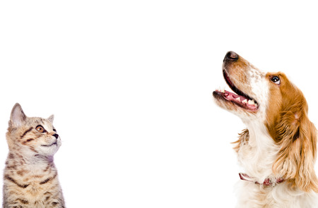 gato jugando: Retrato de una recta escocés gatito y perro ruso spaniel primer aislado en el fondo blanco Foto de archivo