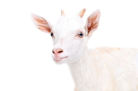 Portrait of a young goat isolated on a white background Reklamní fotografie