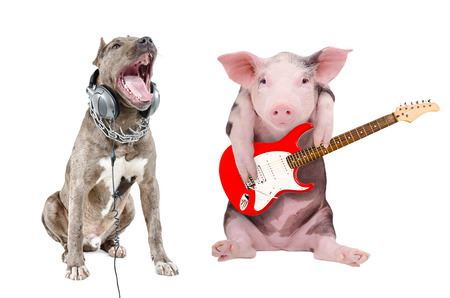 pit bull: Singing a pit bull in the headphones and a pig plays guitar together isolated on white background