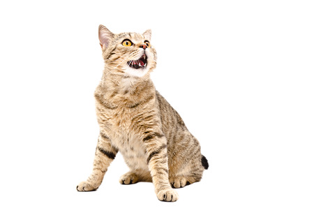 Portrait of a cat Scottish Straight sitting with mouth open looking up isolated on a white background Фото со стока