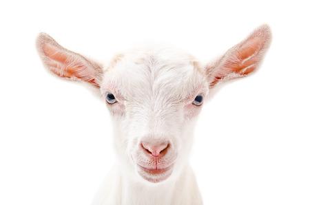 caprino: Retrato de una cabra poco primer blanco aislado en fondo blanco Foto de archivo