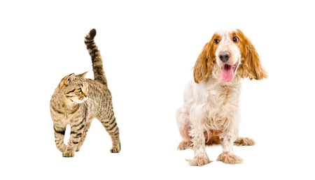 Funny dog of breed Russian Spaniel and cat Scottish Straight isolated on white background