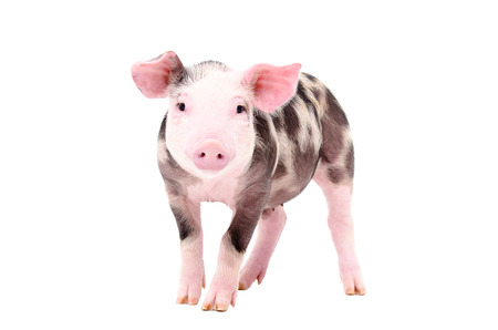 Adorable piglet standing isolated on white background Stock Photo