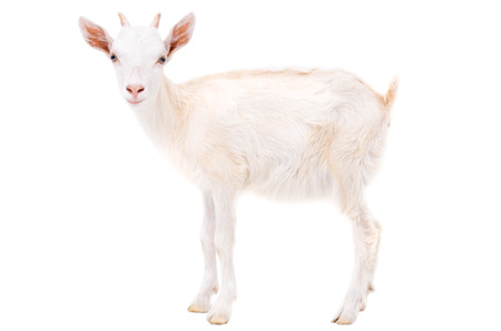 Little white goat isolated on white background