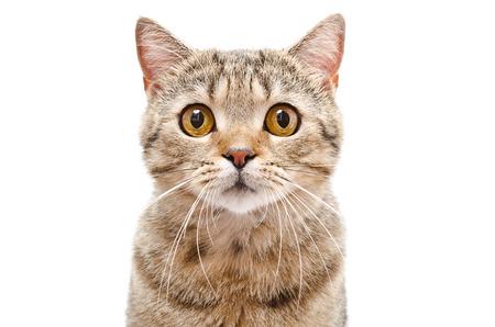 白い背景で隔離の猫スコットランド ストレート クローズ アップの肖像画