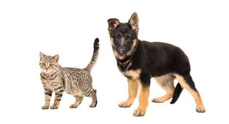 German Shepherd puppy and a cat Scottish Straight standing together isolated on white background