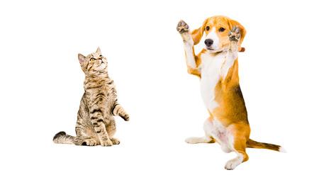 おかしなビーグル犬とスコットランドのストレートは、白い背景で隔離の猫 写真素材