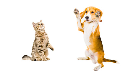 Funny beagle dog and cat Scottish Straight isolated on white background