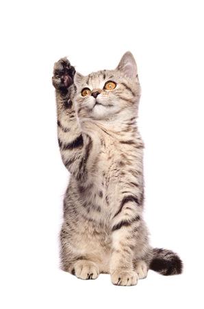 frisky: Frisky kitten Scottish Straight isolated on white background