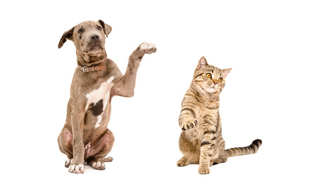 Playful puppy pit bull and cat Scottish Straight isolated on white background Stock Photo
