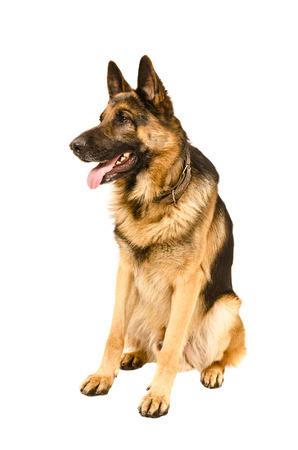 犬の品種のジャーマン ・ シェパード座っている白い背景で隔離