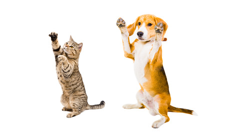 Playful Beagle dog and cat Scottish Straight isolated on white background Stockfoto