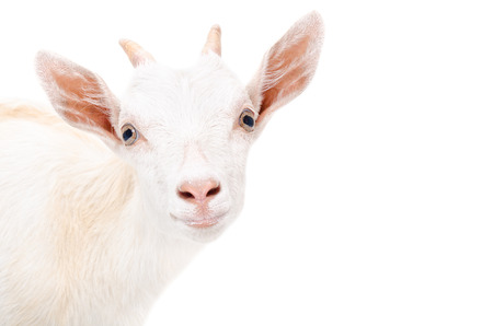 Portrait of a young goat, closeup, isolated on white background