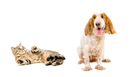 Scared cat Scottish Straight and dog breed Russian Spaniel isolated on a white background