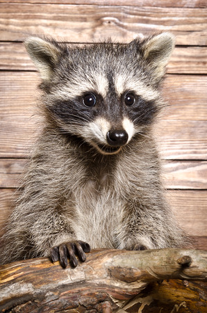 Portrait of a raccoon on a wooden background