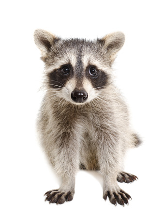 Portrait of a raccoon sitting isolated on white background