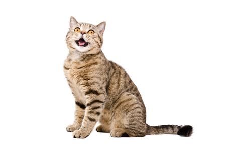 귀여운 재미 고양이 스코틀랜드의 초상화는 스트레이트 흰색 배경에 고립