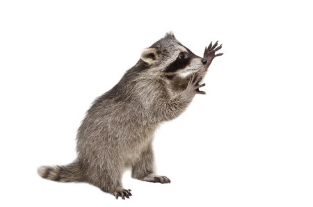 Funny raccoon standing on his hind legs isolated on a white background Archivio Fotografico