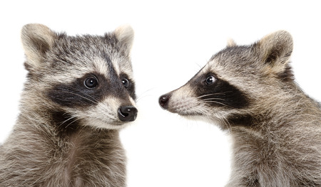 Portrait of two raccoons closeup isolated on white background Stockfoto